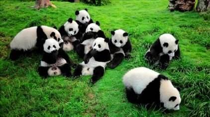 5月19日至21日 熊猫大道地铁口至大熊猫基地免费坐摆渡车3